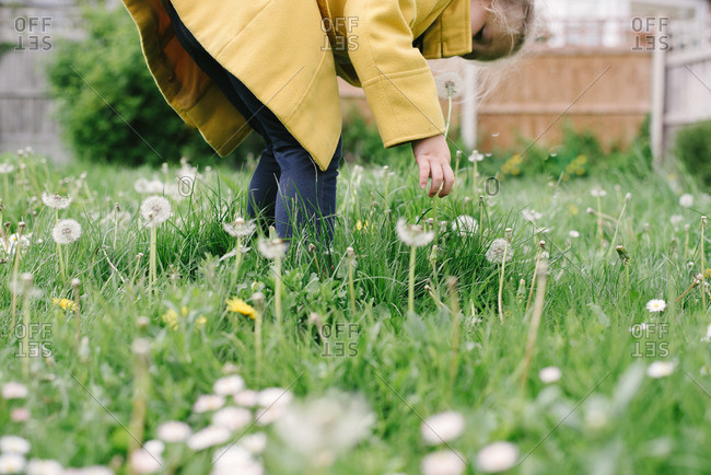 Girl picking dandelions in a yard