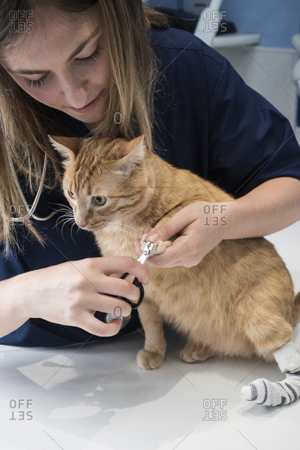 Veterinary cutting nails of a cat