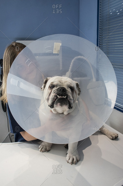 Dog with pet cone in a veterinary clinic