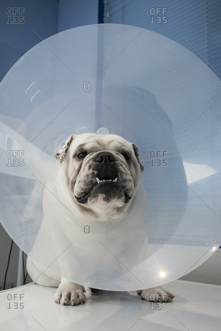 Portrait of a dog with pet cone in a veterinary clinic