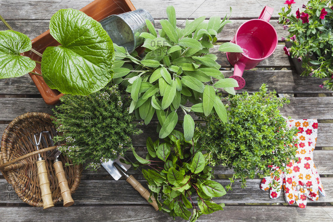 Different medicinal and kitchen herbs and gardening tools on garden table