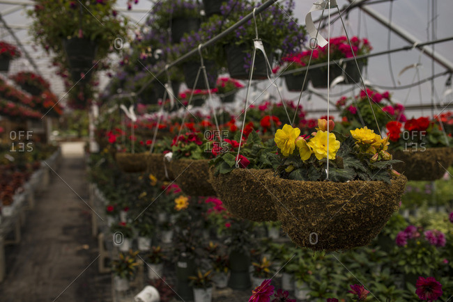 Colorful hanging flower baskets in a greenhouse at a nursery