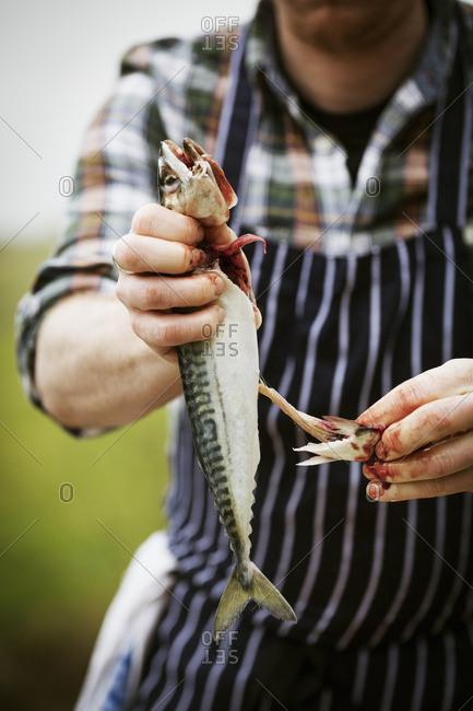 Close up of a chef gutting a Mackerel