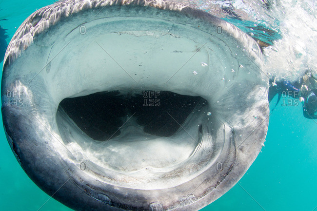 Open mouth of whale shark