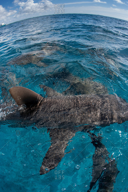 Sharks just under the surface