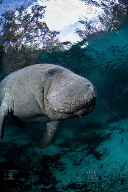 Underwater Manatee from the Offset Collection