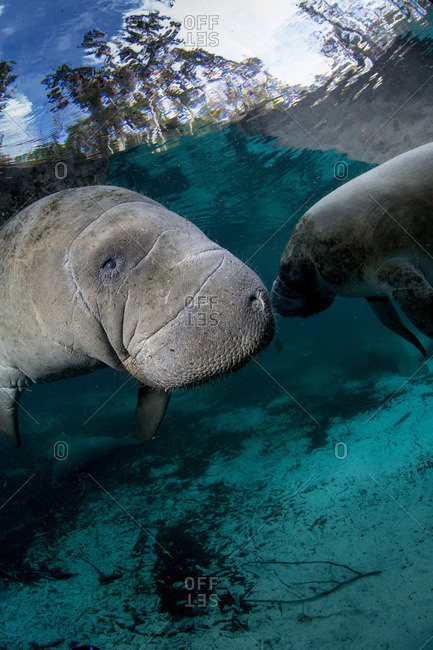 Pair of Manatees - Offset Collection