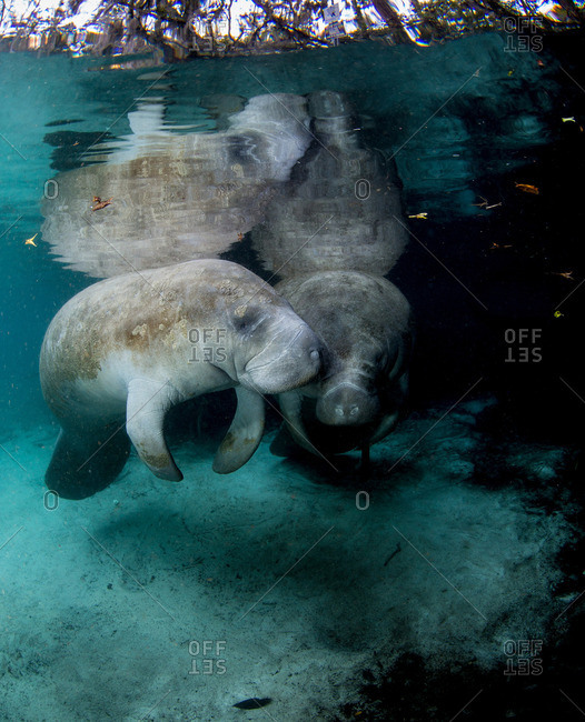 Two Manatees from the Offset Collection
