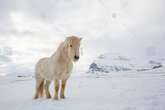 Horse standing in a snowy mountain landscape in eastern Iceland