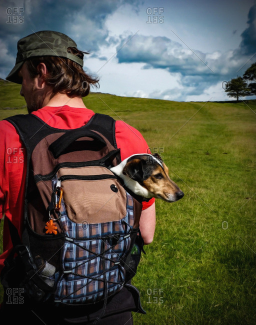 Rear view of a man carrying a Jack Russell dog in a backpack