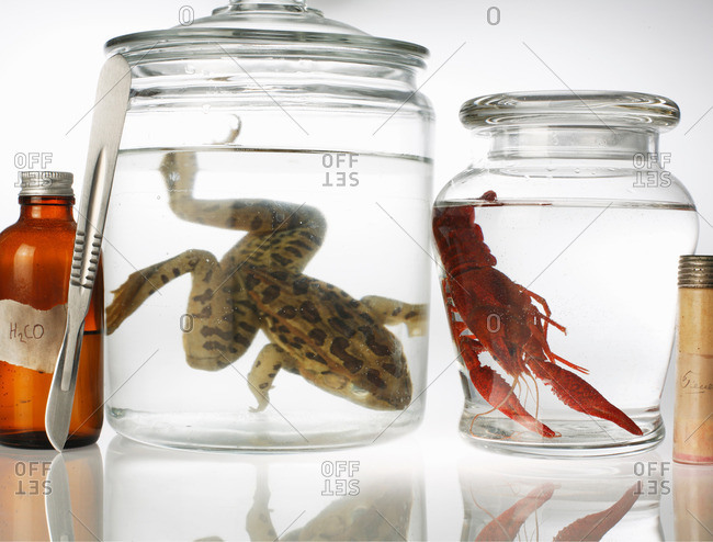 Still life with preserved toad and shrimp in jars