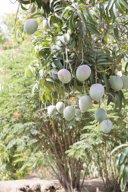 Mangos growing on a tree