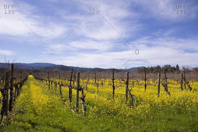 Mustard flowers in between grape vines