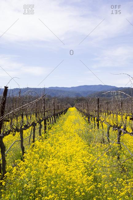 Mustard flowers blooming between grape vines