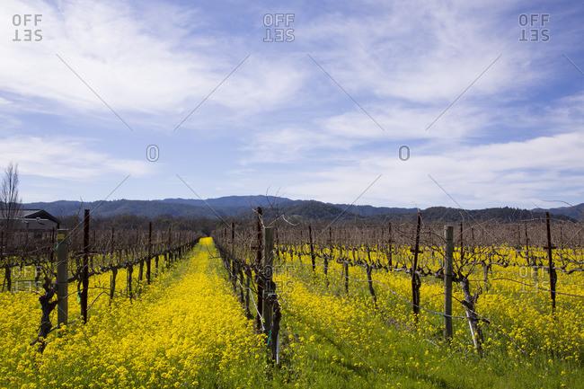 Mustard flower blooms between grape vines