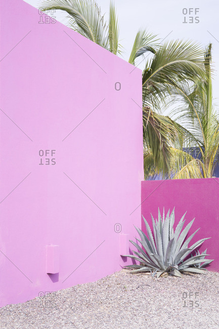 Agave plant by pink wall with palm trees
