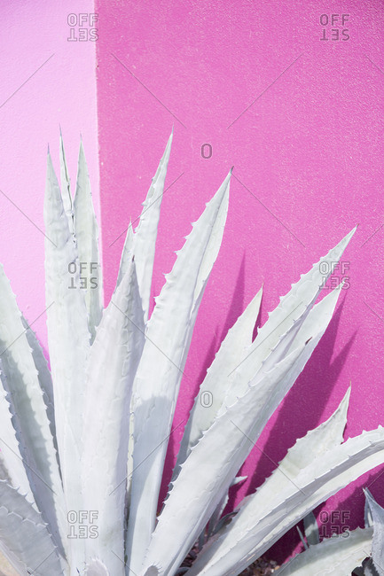 Close up of an agave plant by pink wall