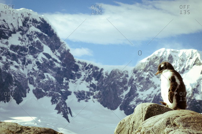 Fuzzy penguin chick with mountain in distance