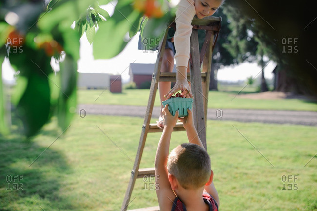 Girl on ladder hands pint container of cherries to brother