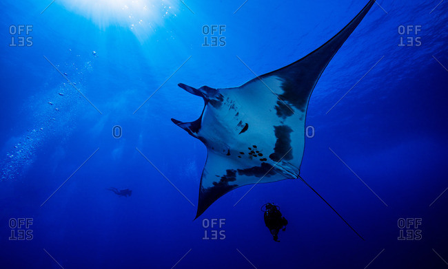 Giant ocean manta ray with diver by Roca Partida Island, Socorro, Mexico