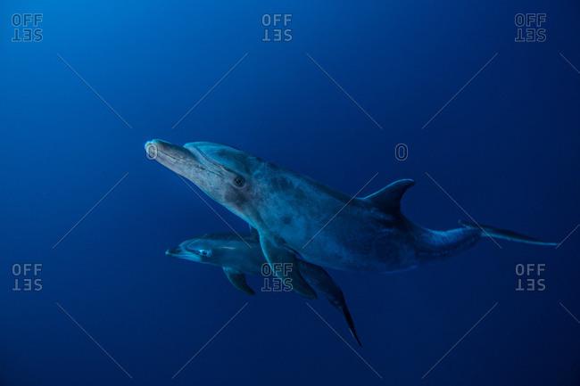 Bottlenose Dolphins, Socorro, Mexico - Offset