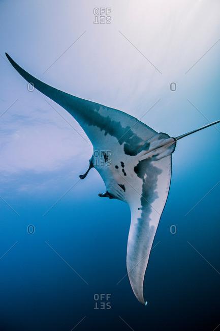 Giant Ocean Manta Ray, Socorro, Mexico