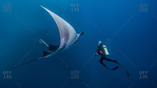 Giant Ocean Manta Ray with scuba diver by Roca Partida Island, Socorro, Mexico