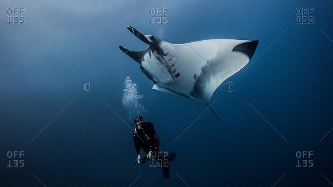 Giant Ocean Manta Ray with scuba diver off Roca Partida Island, Socorro, Mexico