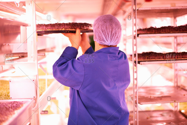 Rear view of worker quality checking vegetables growing under artificial light