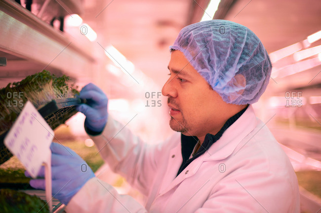 Side view of worker wearing hair net checking vegetables growing in artificial light smiling