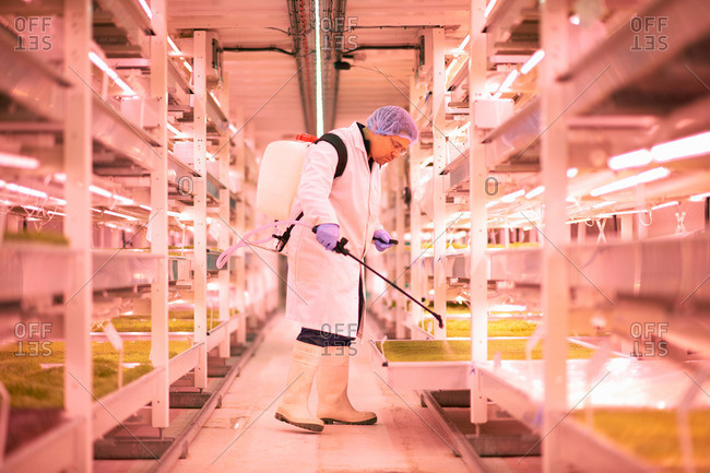 Male worker spraying shelves of micro greens in underground tunnel nursery