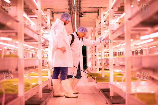Male workers spraying shelves of micro greens in underground tunnel nursery