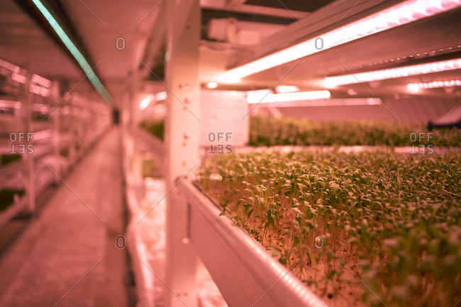 Close up of micro greens tray in underground tunnel nursery