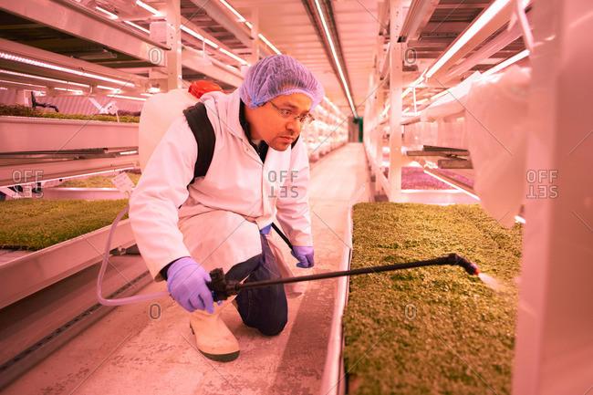 Male worker kneeling to spray micro greens in underground tunnel nursery
