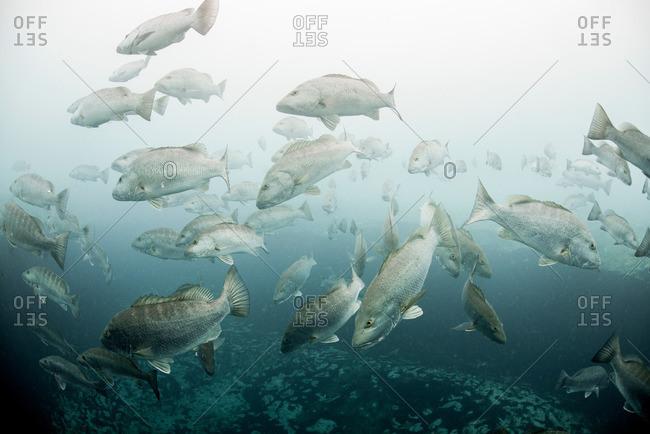 Cubera snappers (Lutjanus cyanopterus) gather around underwater freshwater springs