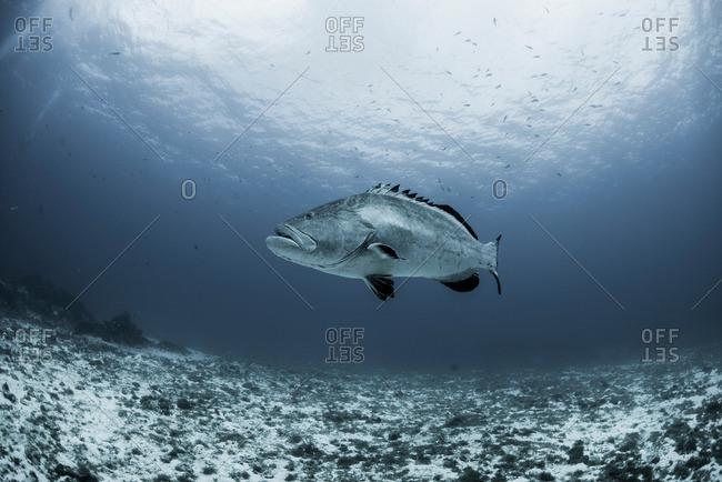 Black grouper (Mycteroperca bonaci) swimming over reef