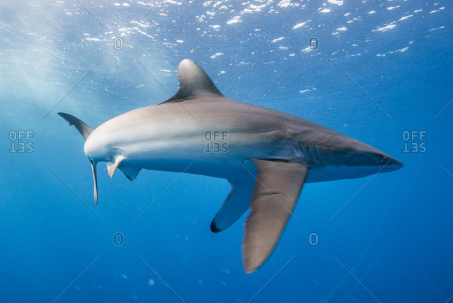 Silky shark (Carcharhinus falciformis) displays stressed behavior: arched body and pectoral fins pointing downwards