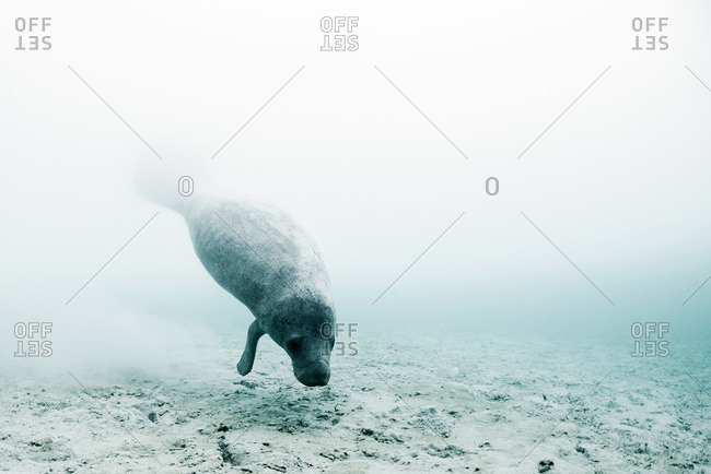 West Indian manatee (trichechus manatus) swimming to drink fresh water from underwater springs on seabed