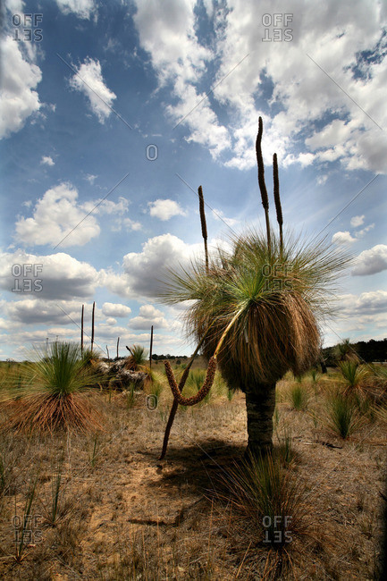 Xanthorrhoea Australia or grass tree
