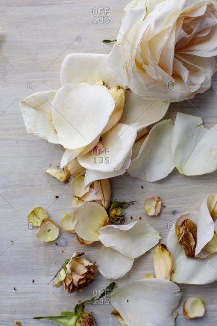Still Life of rose and petals