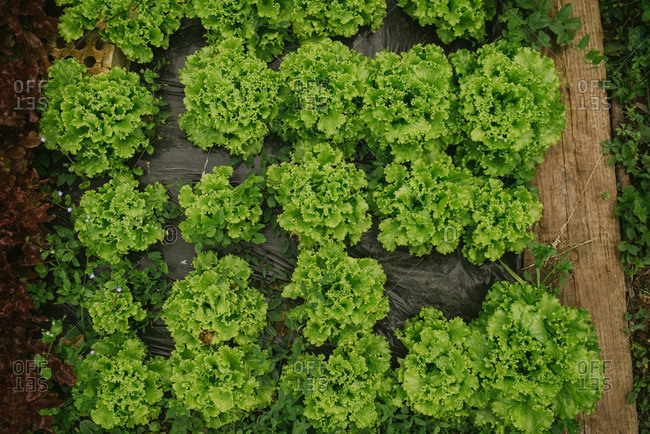 Overhead view of lettuce plants in garden