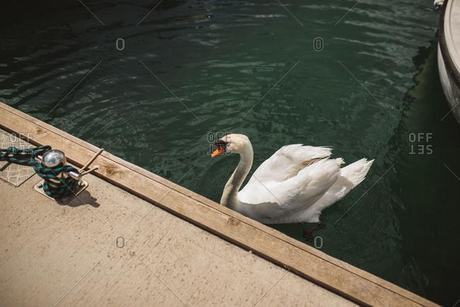 Swan by marina dock