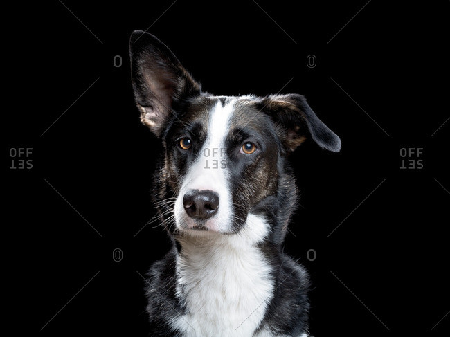 Black and white dog with one prick ear and one floppy