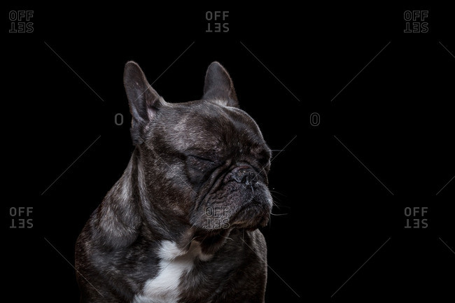 Brindle French bulldog with its eyes closed