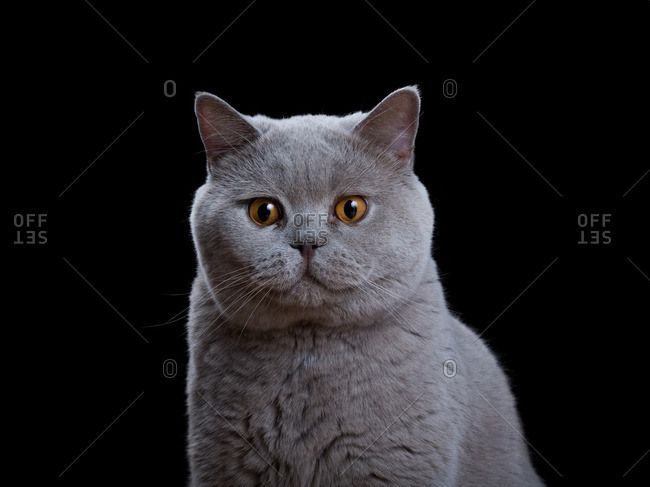 Close up of a British Shorthair cat