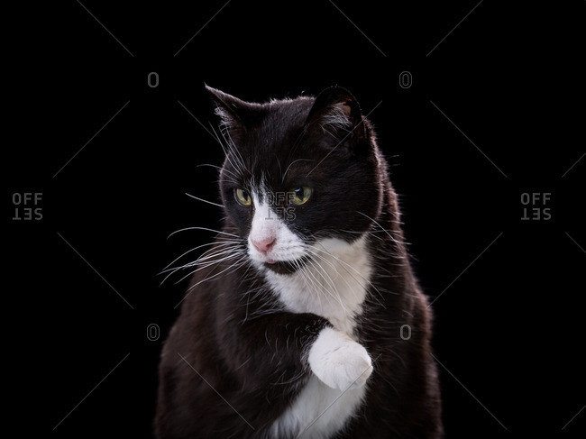 Tuxedo cat lifting its paw