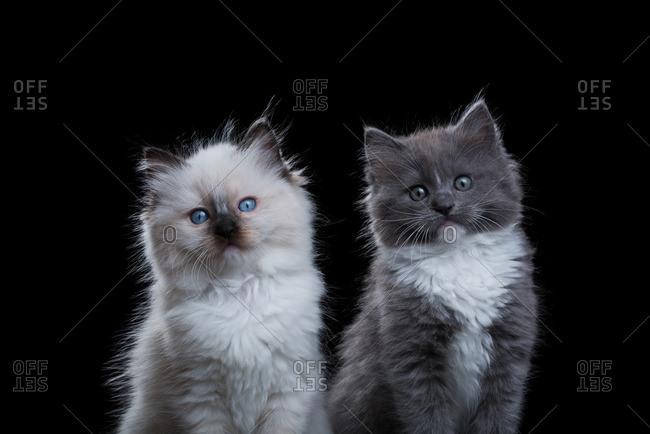 Two fluffy Ragdoll kittens