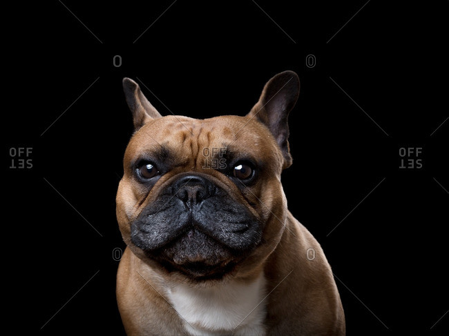 Portrait of a brown and black Frenchie