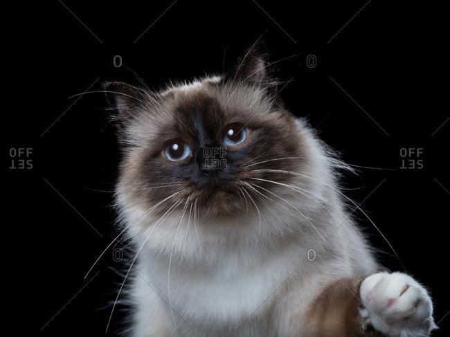 Birman cat lifting its paw