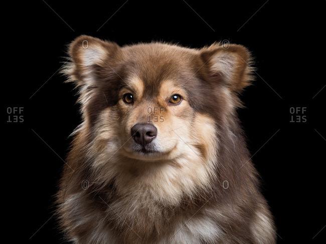 Portrait of a Finnish Lapphund dog